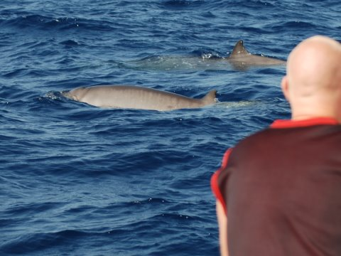 Gervais' beaked whales - rarely seen in the wild - seen off Sal Island